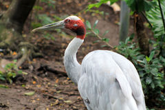 Portrait of crane Royalty Free Stock Photography