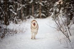 Portrait of crazy and funny dog breed siberian husky running on the snow in the winter forest. Portrait of crazy, happy and free beige and white dog breed royalty free stock photography