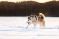 Crazy, happy and cute beige and white dog breed siberian husky running on the snow in the winter field at golden sunset. Portrait of Crazy, happy and cute beige stock image