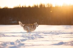 Crazy, happy and adorable beige and white dog breed siberian husky running on the snow in the winter field at sunset. Portrait of Crazy, happy and dorable beige royalty free stock photos