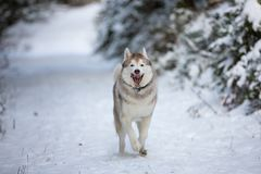 Portrait of crazy and funny dog breed siberian husky running on the snow in the winter forest stock photography