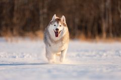 Crazy, happy and cute beige and white dog breed siberian husky running fast on the snow in the winter field. Portrait of Crazy, happy and funny beige and white royalty free stock images