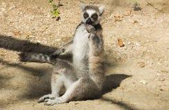 Portrait of crazy lemur eating fruit Royalty Free Stock Photos