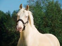 Portrait of cream Dutch ride pony Royalty Free Stock Images