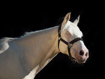 Portrait of  cream ride pony at black background Royalty Free Stock Image