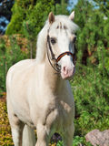 Portrait of  cream  welsh pony Royalty Free Stock Photography