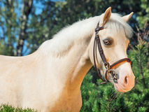 Portrait of  cream  welsh pony Stock Image