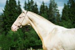 Portrait of creamello purebred akhalteke stallion Stock Photo