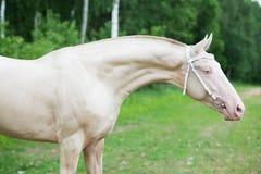 Portrait of creamello purebred akhalteke stallion Stock Image