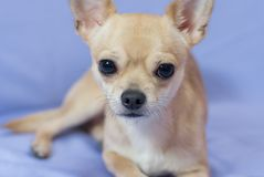 Portrait of creamy curious Chihuahua puppy against blue background Royalty Free Stock Photo