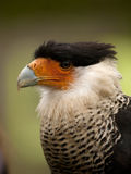 Portrait of a crested caracara Royalty Free Stock Images