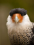 Portrait of a crested caracara Stock Photos
