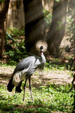 Portrait of a Crested crane Stock Photography