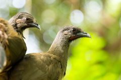 Portrait of Crested Guan birds Royalty Free Stock Images