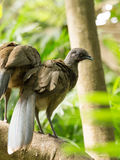 Portrait of Crested Guan birds Royalty Free Stock Photos