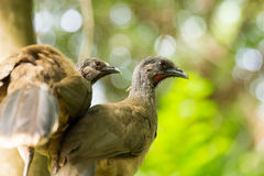 Portrait of Crested Guan birds Royalty Free Stock Photography