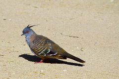 Portrait of a crested pigeon Stock Photography