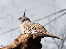 Portrait of Crested pigeon - Ocyphaps lophotes Royalty Free Stock Photos