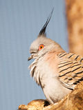 Portrait of Crested pigeon - Ocyphaps lophotes Royalty Free Stock Photography