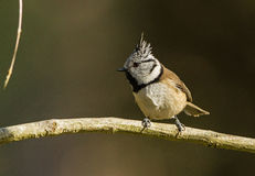 Portrait of Crested Tit Stock Photography
