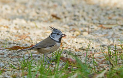 Portrait of Crested Tit Royalty Free Stock Photo