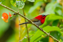 Portrait of  Crimson Sunbird Stock Photo