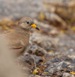Portrait of Croaking Ground Dove Stock Photo