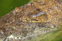 Portrait of a Nile crocodile Stock Image