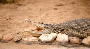 Portrait of crocodile Royalty Free Stock Photography