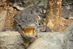 Portrait of a Crocodile Stock Image