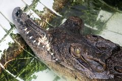 A crocodile with a broken jaw Stock Photo