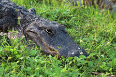 Portrait crocodile in everglades close up. Close up portrait of alligator at anhinga trail in the florida everglades Stock Images