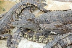 The portrait of crocodile and his friend sleepy. Stock Photo