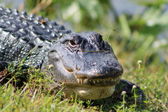 Portrait crocodile showing teeth in everglades clo. Close up portrait of crocodile eyes open and showing teeth at shark valley in the florida everglades Royalty Free Stock Photography