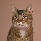 Portrait of a crossbred Abessin. Studio portrait of a crossbred Abessin cat Stock Photo