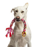 Portrait of Crossbreed dog holding toy. In its mouth against white background royalty free stock photos