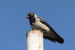 Portrait of a crow Royalty Free Stock Photos