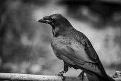 Portrait of a Crow, Close up in black and White. Portrait of a Crow, in Black And white photo, one of the most intelligent creacure on the plane, Close up Stock Photos