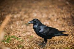 Portrait of a Crow, Close up Stock Photo