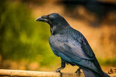 Portrait of a Crow, Close up Royalty Free Stock Image