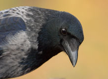 Portrait of a crow Royalty Free Stock Image