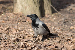 Portrait of crow Royalty Free Stock Photos