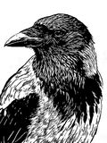 Portrait of a crow with head turned looking in black and white i Stock Photography
