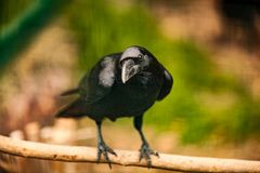 Portrait of a Crow, Close up Stock Photography