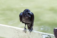 Portrait of a crow Stock Photos