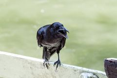 Portrait of a crow Royalty Free Stock Photo