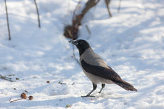 Crow on the snow Stock Images