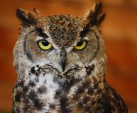 A portrait of a crowned african eagle owl Royalty Free Stock Image