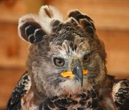 A portrait of a crowned african eagle owl Stock Image