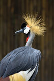 Portrait Crowned Crane in zoo Royalty Free Stock Images